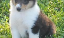 AKC Collie puppies ( lassie type) tri color, Great with children and other pets.Born june and are now 8 weeks old and ready for new homes.Have had shots and dewormed. call 318-222-7575