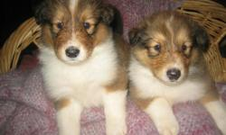 AKC COLLIE PUPPIES - THESE ARE THE ROUGH HAIRED COLLIES LIKE LASSIEAND ARE SABLE AND WHITE TO DARK MAHOGANY SABLE AND WHITE. THEY WERE BORN JUNE 5, 2012 AND WILL BE READY TO LEAVE HOME IN 6 WEEKS. THE PUPPIES HAVE FULL WHITE COLLARS AND