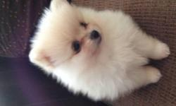 this beautiful little guy, are  is a Light Cream (piebald) Parti-color male and  female Pomeranian. with limited AKC registration (pet only) on a spay contract.They will come with: Up-to-date shots, Shot/Health record, Health Certificate (if