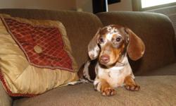 VERY SWEET LOVES EVERYONE. TOO SMALL FOR MY BREEDING PROGRAM PLEASE CALL AS I DO NOT CHECK THIS SITE DAILY NOON-10PM