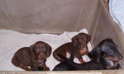 AKC Dachshund pups. Two chocolate and tan females one sable female, one black and tan male. Have had their first puppy shot, been wormed and have had their dewclaws removed. They are short haired. Call -- or email for more information.