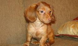 1 yr health guarentee... mini dachshund lh male cc accepted FREE GIFT -- WWW.AKCDACHSHUNDNY.COM home raised weighs 4.5 lbs at 5 months. carries pie, chocolaTe, aND CREAM FULL AKC