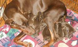 Akc Doberman puppies with tails and dew claws removed. They have champion bloodlines and will be utd on shots and worming. We are selling females for $700.00 and males for $650.00 which includes a $300.00 non-refundiable deposit. If interested please