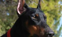 """AKC BLACK DOBERMAN PINSCHER STUD SERVICE, VWD CLEAR Cairo's father is Chu Chu, an American Canadian International Champion sired Doberman Pinscher Stud. 2011 Breeding Fee for Cairo is $600. He has no """"Z"""" factor. That is, he does not carry the white gene."""