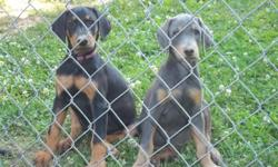 AKC Doberman Pinscher puppies vet checked 2nd shots wormed dew claws removed tails docked parents and paternal grandmother on premise raised indoors around children. Limited and unlimited registration.