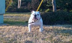 This is BUD,our AKC English Bulldog with multi Champion Bloodline. His Sire is the AKC Champion Exact Classic What About Bob, from the Famous Cherokee Legend Pretty Boy Line. The Dam is Cherokee Legend White Lace, from the AKC Crazy Horse Cherokee Legend.