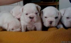 beautiful AKC ENGLISH BULLDOG PUPPIES 5 WEEKS OLD taking deposits reserve yours now i have 3 females 4 males 4 are all white and 2 are red and white and brindle they are show champion blood lines or pets, with great pedigees,parents on site they all come