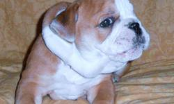 healthy happy boy all shots and dewormings to date vcall for info or appt 1 6192641260 locals only
