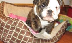 Very sweet and affectionate 9 week old female English Bulldog, she is AKC registered and has had all of her shots and worming up to date, she also comes with a written health guarantee. Call 347-553-0387