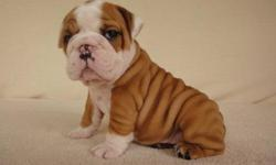 AKC Registered english bulldog Puppies for homes All of my puppies are health guaranteed and up to date on all shots and wormings. We family raise our babies and spoil them with love and kisses. For more information's please do e-mail me