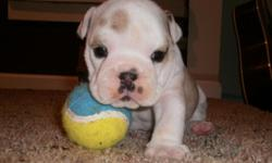 Champion Bloodline AKC English Bulldog puppies, ready to go July 4th. White and Brindle, shots, dewormed, and papers! 2 males and 1 female left! Please call 719-371-4154!