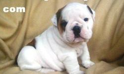 Charming English Bulldog Puppies free for adoption.English Bulldog puppies, they are AKC reg, vet checked and de-wormed, all their shots are given up to date, they are potty trained and house trained, Well Socialized with both kids and pets around them,