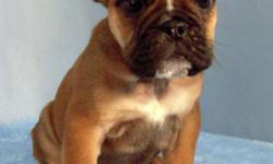Xerox is adorable male English Bulldog puppy. He was born in October 10th, 2010. He is very chunky and healthy little baby. He has lots of wrinkles too. He got vaccines and dewormed upto date and he is registered with AKC. He has excellent temperment with