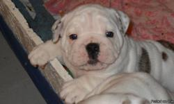 We have 3 males, 8 weeks old. Born 8/5/12 and ready to go to their new homes. Current on all shots, worming and well socialized and potty trained. Raised in our home, mother & father are here to interact with. AKC regerstration