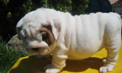AKC English bulldogs 9 weeks old our puppies are home raised with lots of love and attention they are great with children and other pets short and stocky woth lots of wrinkles and big head 4 males left serious callers onle ca;ll or text any time