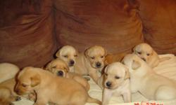 Pure bred English Labrador puppies WHITE!!!CREAM!!!YELLOW!!! WITH AKC PAPERS WORMING, and SHOTS SEE VIDEOS ON OUR WEBSITE We have a current litter of extremely Blocky stocky and very blockheaded puppies. THE PARENTS ARE OF ENGLISH DESCENT AND VERY BLOCKY