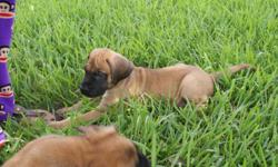 We have 3 beautiful apricot females and 3 handsome apricot boys left. Parents are both AKC. Father has champion bloodlines. Father has beautiful black mask and block head. Males are $900 and females are $1000. Puppies are 10 weeks old. For more