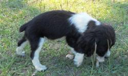 We have black and white male puppies. They have the field bred coats. AKC puppies forms papers are back. They have shots and wormings. They have their tails docked and the dew claws removed. Our puppies come from non-related parents. If you're interested
