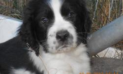AKC ENGLISH SPRINGER SPANIEL PUPPIES BORN 8-18-12 7 BLACK AND WHITE HEALTHY MALES TAILS DOCKED, DEW CLAWS, FIRST SHOTS, VET CHECKED BEAUTIFUL MARKINGS, EXCELLENT BLOODLINES GREAT PERSONALITIES, VERY SOCIALIZED MOM AND DAD ON SITE $400.00