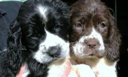 AKC English Springer Spaniel puppies B/W, L/W, F/M Field Bred, 1st shots/dewormed. Family raised. Hunters/great family pets. See website for current photo's: http://akcenglishspringerspaniels.webs.com
