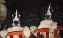 CHRISTMAS PUPPIES AKC ENGLISH SPRINGER SPANIEL PUPS! TWO BLACK AND WHITE HEALTHLY MALES TAILS DOCKED, DEW CLAWS REMOVED, AND 2ND SHOTS BEAUTIFUL MARKINGS AND ABSOLUTELY ADORABLE VERY SOCIALIZED WITH A SWEET TEMPERMENT READY TO GO TO YOUR HOME JUST