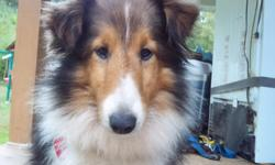 HEIDI IS A SABLE & WHITE SHETLAND SHEEPDOG. ALSO KNOWN AS A SHELTIE OR MINIATURE COLLIE. She is AKC Registered UTD on shots and worming. She is a sweet girl, very well mannered and intelligent. She leads very well, she comes with a 72 hour health