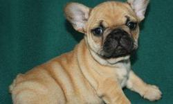 Red Boar Black Mask & Red Fawn Black Mask AKC French Bulldog puppies for sale to happy homes! Our French Bulldog puppies live with us in our home and are from our own pets Tinder and Wayne. They are well socialized and are happy little campers! Choosing
