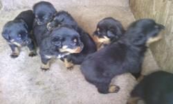 6 Akc german rottweiler puppies for sale 4 males and 2 females 5 weeks old tails docked ready to take home