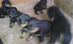 6 Akc german rottweiler puppies for sale 4 males and 2 females 5 weeks old very nice looking pupps