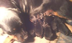 I have 6 German rottweilers puppies for sale 2 girls and 4 boys very nice and cut pupys with Akc papers they born in November 17 for more info, cal at -