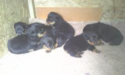 Akc german rottweiler puppies for sale 3 males & 2 females tails docked 4weeks old blacks,healthy pupps the parents on side