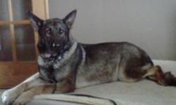 Sable AKC GSD to rehome. Heidi just turned 3 on Oct 10th. We rescued her from a bad situation. She very loving, medium drive, very obedient, gets along well with others dogs, great with small children, house broken, kennel trained, climb trained, very