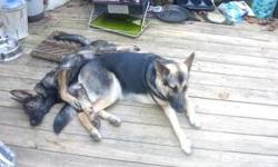 AKC German Shepherd female.  She was born on January 28th, 2011. We purchased her from a family in Tennesssee on 5/10/11. We live in a town called Ware Shoals which is about 30 to 35 minutes from downtown Greenville and 20 minutes from Greenwood. At