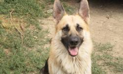 akc german shepherdfor stud service all shot's are current he is 2 1/2 years old 300.00 up front for servicecontact keith at 561-688-3000