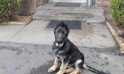 I have a 3 mo Male German Shepherd Puppy available. He has been vet-checked and has had 2 sets of shots. He is a very dark black & tan. He will be a good sized boy. He has been raised with a 4 year old. The puppy is very sweet natured. He is crate-trained