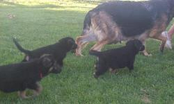 Are you Looking for a quality german shepherd puppy. I have pet and show pups. Dad is one of the top dogs in the states Hip and Elbow certified, Heart certified, and DM clear. Mom is also hip and elbow certified. I breed for quality, soundness, correct