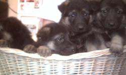 there are 6 females and 4 males Black and tan first shots and wormed. Ready to go home April 10. Call 406-590-3556. for more info. Mother hips are sirtifed will make great pets or what ever.