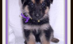 AKC German Shepherd Puppies, 1 Female left Ready for New homes April 28th, 2011. Father Sable/Mother Black and Tan. Champion Bloodlines, Beautiful, Smart, Excellent Temperament, Great Companions for Kids or Adults. We are taking deposits now. More