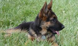 German Shepherd puppies. Black and red, AKC registered with pedigree. High value blood lines. Immaculate bone structure and conformation. Wormed, first shots. Superior looks, temperment, socialized around children and other animals. Health Guarantee. Born