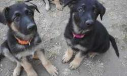 Registered AKC Male German Shepherd Puppies. Bred for quality and temperament. Excellent Blood lines. 9 weeks old. Shots and wormed. Call for more info. -- I also have 2 female pups shown in the pic for $1000.00