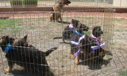 We have 5 females and 2 males German Shepherd puppies looking for new homes. They are 8 weeks old. They will have full AKC registration papers, Parents Pedigree, Collar, Leash, Dry food bag, Multivitamins, shots up to date and dewormed when picked up.