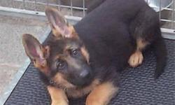 AKC Registered German Shepherd Puppies. 10 Week Old Black and Tan Female Available. UTD On Shots. Call For More Details. Willing To Travel 803-4222-5907