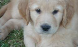 AKC Registered Golden Retriever puppies. Born 2-20 4 males, 2 females Blondes and reds, Both parents OFA certified. Mother is registered with Therapy Dogs Inc. and volunteers at Skagit Valley Hospital. Mother also has her eyes and heart certifed. A