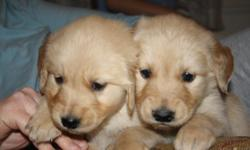 Born Jan. 12 & 13th. Have been vet checked 1x already, due claws removed and wll get 6 week check-up with first shots. AKC papers. Accepting deposits. 561-688-3260 or. 561-688-3260
