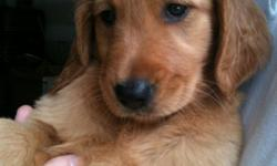 Females only golden retriever puppies. Born 4/23/11. Vet checked, first shots, wormed. They are very loving and friendly. Mom and dad are both red. Dad weighs apprx 90 lbs mom weighs 65lbs. We have dad on premises. They love to be with people. They need a
