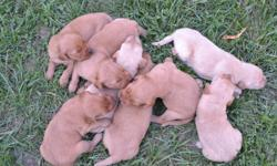 We have 8 AKC Golden Retriever puppies for sale. There are 4 males and 4 females. They range in color from dark golden to light golden. The mother is a light golden and the father is a dark golden. They were born on August 21st. We are asking $450 for