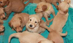 Beautfil golden retriever puppies!  Have had first shots and dewormed.  Ready to go November 10th.  6 females and 5 males. Email me at chellew3173@aol.com. or call me at four zero six sixs even zero two eight two six.
