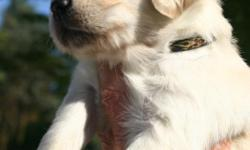 Just in time for Father?s Day and Graduations Born April 23rd - Ready June 18th Beautiful color (creamy, light and medium golden), great disposition and kid-friendly. 1st shots, dewclaws removed and de-wormed. Excellent companion dogs, bred to hunt,