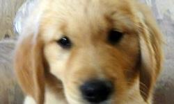 AKC Show Quality Golden Retriever Puppies. Only 2 Males Left Health Certificate, Shots, Health Guarantee, Pedigree, And more... Smartest dogs you'll ever own. I am offering all puppies with a 26 month health guarantee for hip dysplasia,