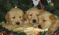 AKC Golden Retriever Pups ,ready for christmas ,mom and dad on primses ,first shots, vet visit,wellness check ,and dewormming included.4 males @$600 and 2 females @ $650 ,some very light pups to medium golden . I can send pics on request of all puppies.